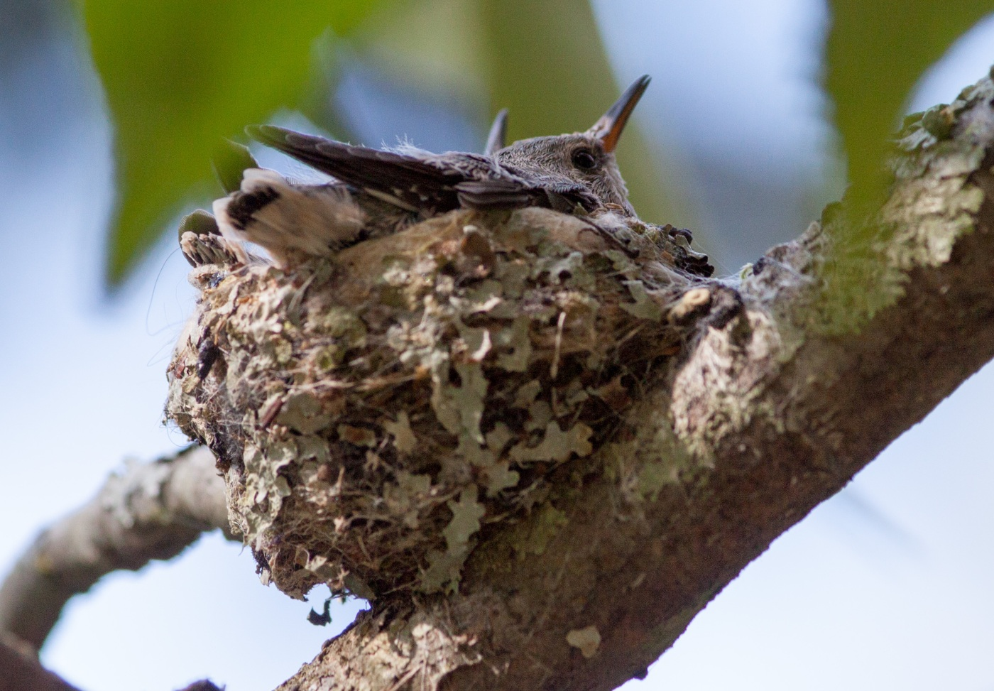 Hummingbird Nest-2