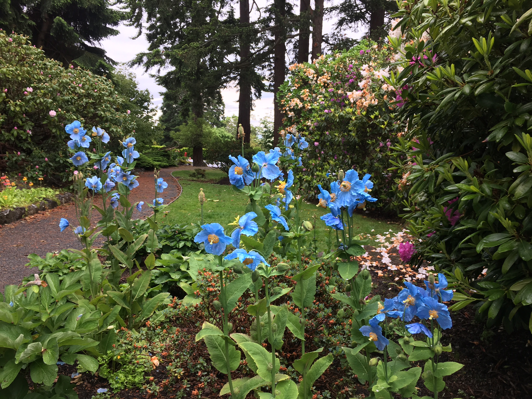 An image of a Himalayan Blue Poppy at Government House