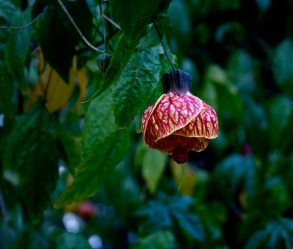 abutilon-at-government-house-bc