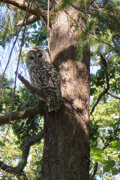 Barred Owl in the Woodlands