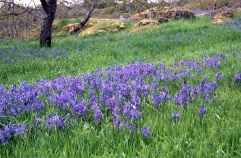 Camas in the Woodlands