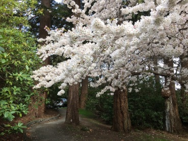 A photo of white blossoms in the rhododendron garden