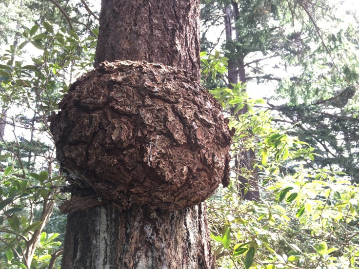 A photo of a tree trunk with a large, bulbous growth covered in tree bark.