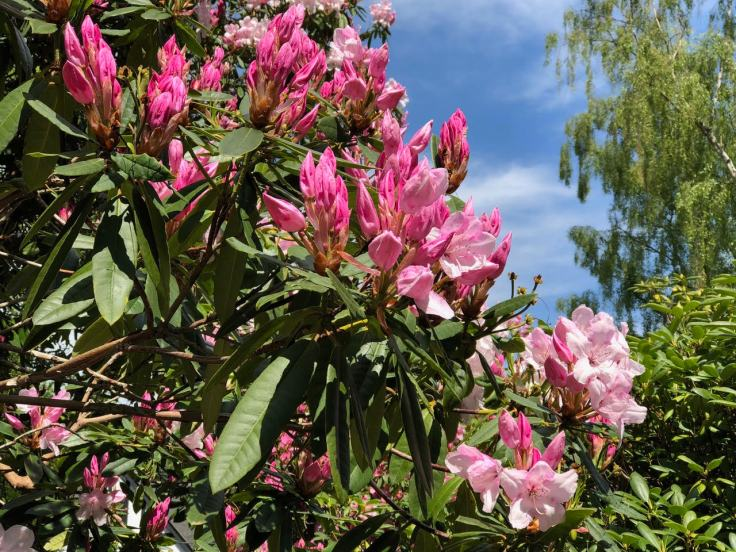 photo of pink rhododendron plant