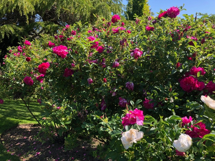 photo of a rose bush